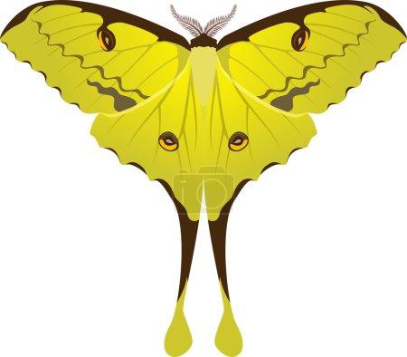 Argema mimosae butterfly vector illustration...