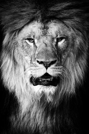 Foto de Portrait de Lion sur fond noir - Imagen libre de derechos