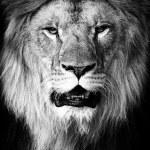 Lion portrait on black background...