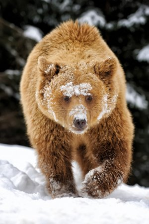 Photo pour Grand ours brun dans la forêt d'hiver - image libre de droit