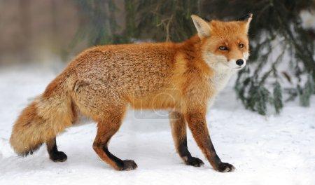 Photo pour Le renard roux (Vulpes vulpes) en hiver - image libre de droit