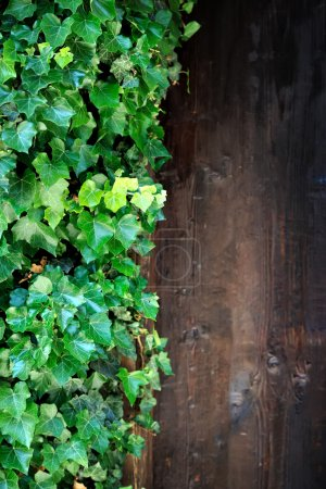 Ivy growing on old doors