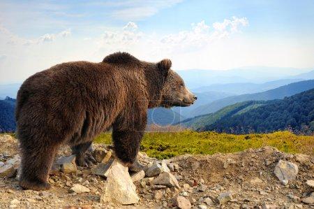 Photo pour Grand ours brun (Ursus arctos) en montagne - image libre de droit