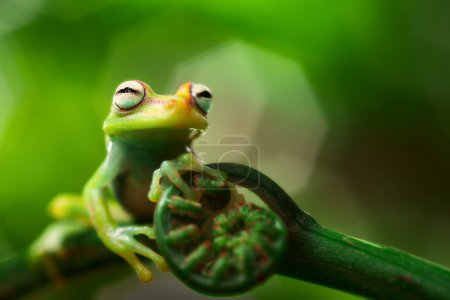 Photo for Tree frog hypsiboas punctatus. A small treefrog from the Amazon rain forest. Macro of a tropical amphibian. - Royalty Free Image