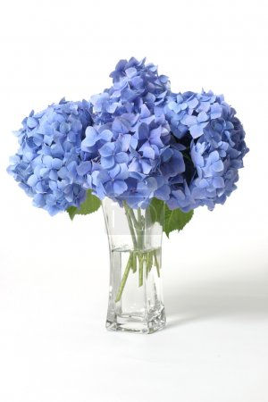 Foto de Mophead hydrangeas in a glass vase.    Hydrangeas produce larger mopheads made up of clusters of small flowers from Summer through Autumn.  Flower colour can change from blues purples through to pinks, depending on the ph of your soil.  Acidic soils - Imagen libre de derechos