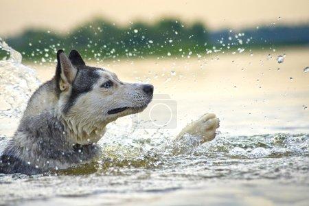 desperate swimmer Huskies