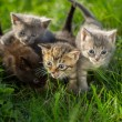 Постер, плакат: Little tabby kittens on green grass