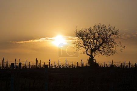 vineyard with tree near Velke Bilovice