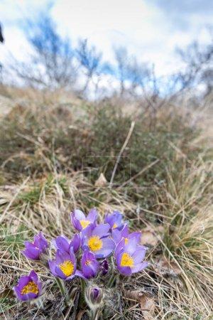 Pasque flower, National park Podyji, Southern Mora...