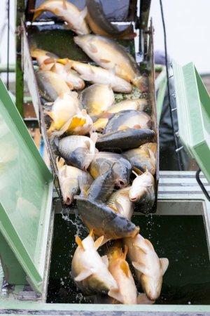 Harvesting pond, fish