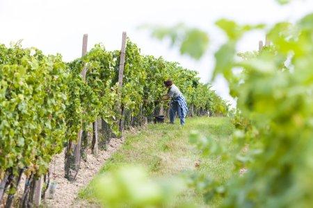 Wine harvest in Southern Moravia, Czech Republic