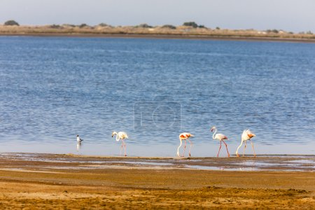 Flamingos in Camargue, Provence