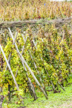 Grand cru vineyard of Cote Rotie, Rhone-Alpes