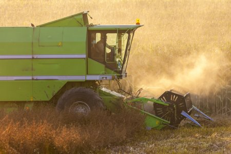 grain harvest in summer