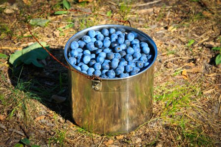 Photo for Sloe in steel pan in autumn garden - Royalty Free Image