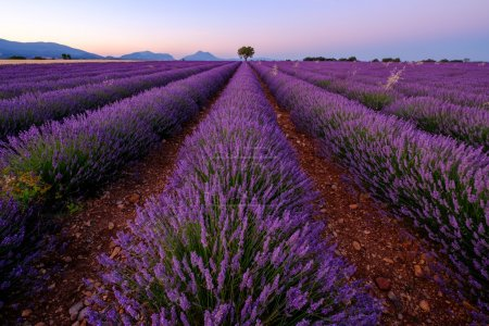 Tree in lavender field at sunset