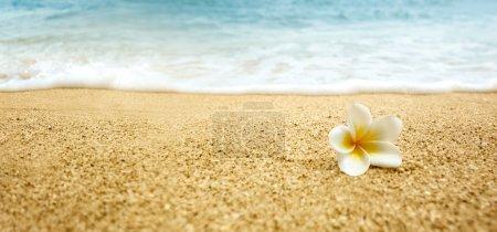Photo pour Fleur tropicale Plumeria alba (White Frangipani) sur une plage de sable fin - image libre de droit