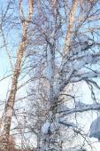 Winter birches in snow