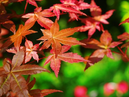 Photo for Maple leaves background - Royalty Free Image