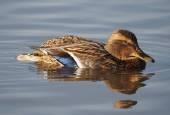 Kachna na jezeře