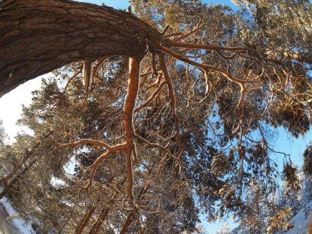 Photo pour Arbres de bas en haut dans une forêt de pins en hiver - image libre de droit