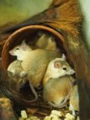 Stachelmäuse in einem Käfig