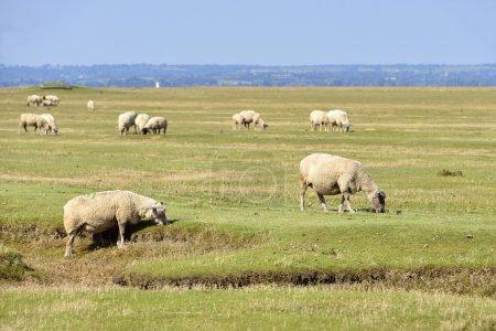 Sheep salt meadows