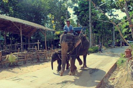 KOH SAMUI, THAILAND 2 april 2013, Thai man riding elephant with his baby in Samui jungle