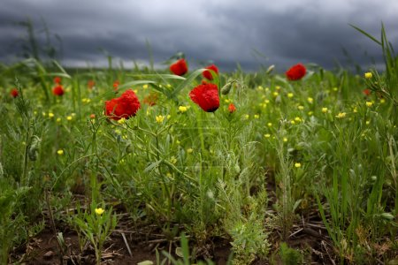 Poppies and storm sky