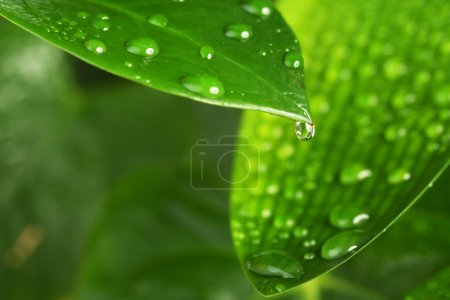 Photo for Close up of water drops on green leaves - Royalty Free Image