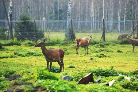 roe-deer in field