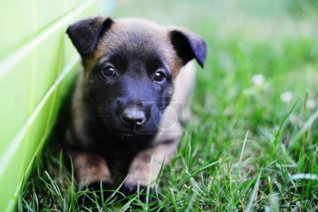 young cute puppy