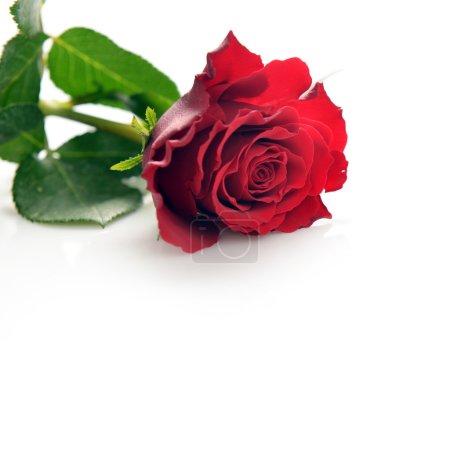Photo pour Belle rose rouge sur fond blanc - image libre de droit