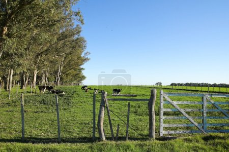 Cattle in a paddock, in the Uruguayan pampas. Carm...