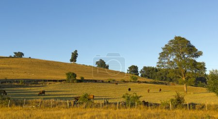 Cows grazing in the fields of southern Chile (Arau...