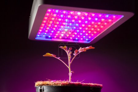 Photo for Young tomato plant under LED grow light - Royalty Free Image