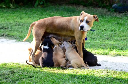 amstaff dog breast feeding puppies