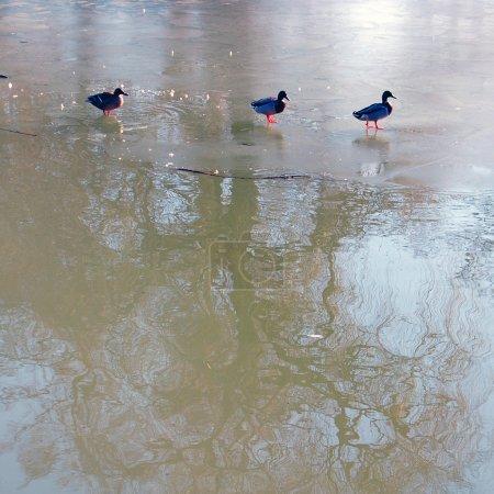 Mallard ducks on frozen lake
