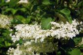 A kert virágzó bodzavirág