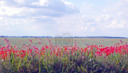 Photo for Wild poppy field in summertime - Royalty Free Image