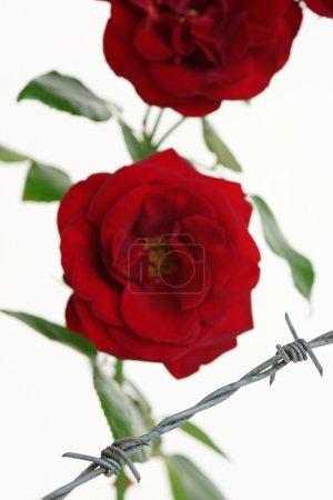 Imprisoned Roses