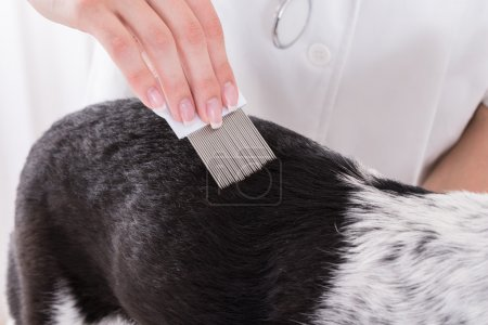 Vet Examining Dog's Hair With Comb