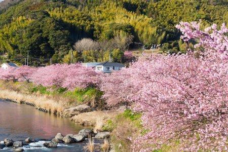 blooming sakura trees along river