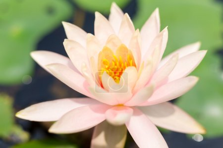 Water Lily in river water