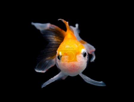 close-up of beautiful gold fish