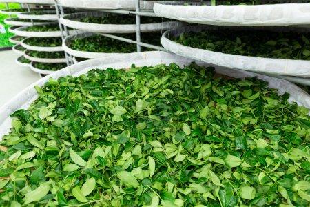 Processing of fermentation for tea