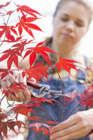 Gardener clipping maple branch