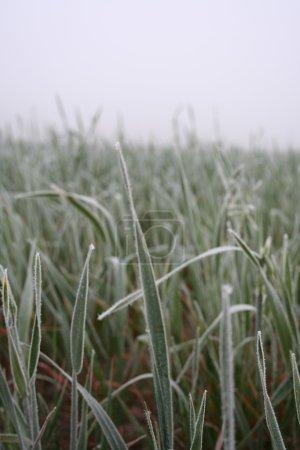 Frozen grass on meadow