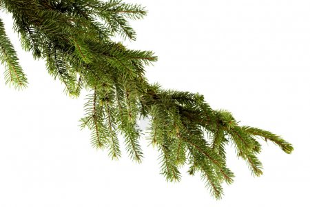Photo for Green Pine branch on white background - Royalty Free Image