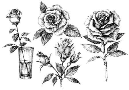 Illustration for Roses set, floral design elements collection - Royalty Free Image